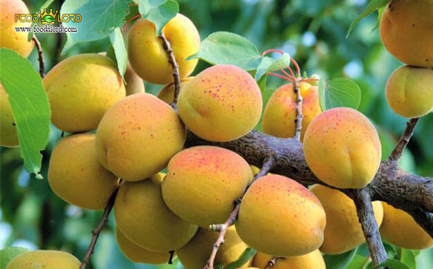 foodslord.com---Goldcot-Apricot---history---types