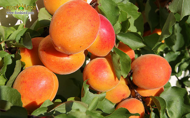 foodslord.com---Tomcot-Apricot---history---types
