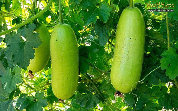 foodslord.com---Winter-melon---types