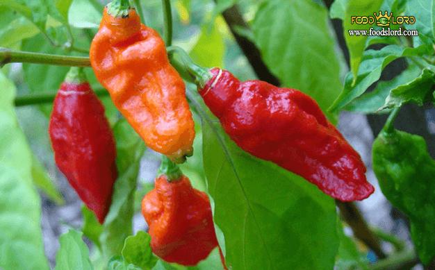 foodslord.com---Bhut-Jolokia-pepperi---type